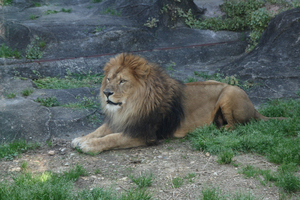 100425_HigashiyamaZoo_lion.jpg