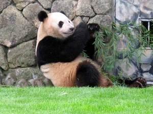 080501_panda1.jpg